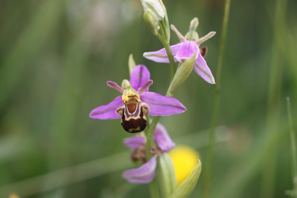 bee orchid 6.jpg