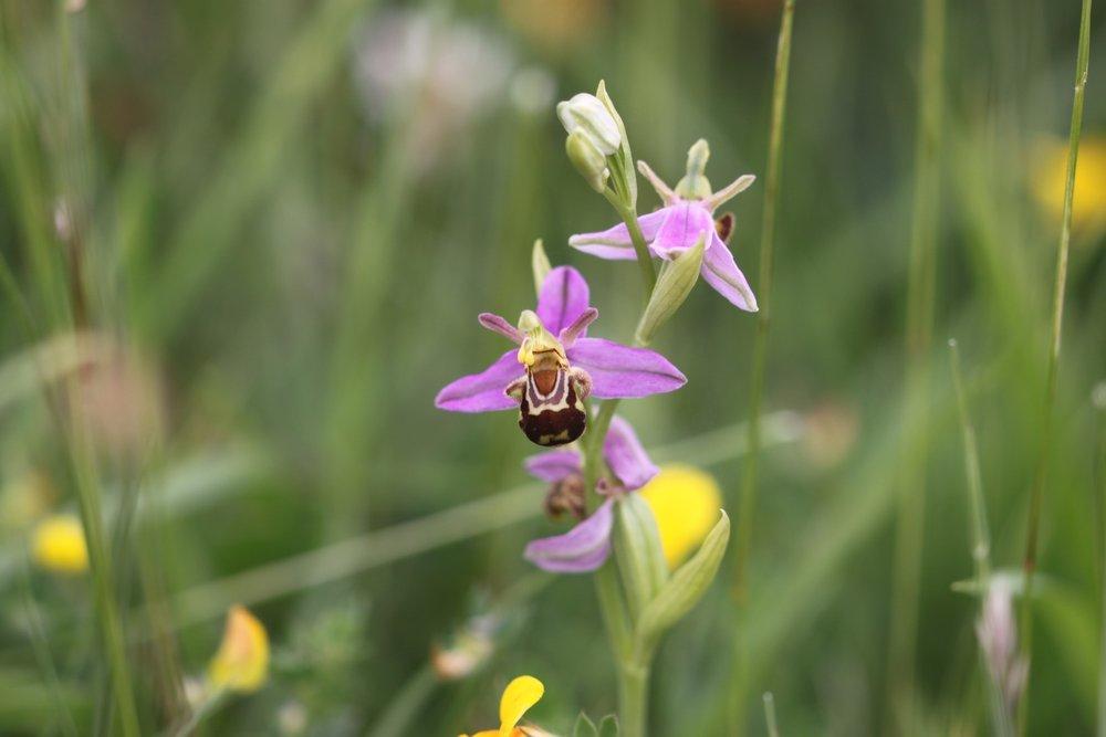 bee orchid 7.jpg