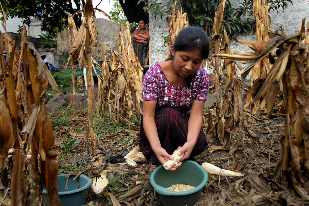 Francisca pulls the kernels off freshly picked corn from her family's garden. The family dries the corn and takes it to the local mill. They use the resulting meal to make tortillas for the family.
