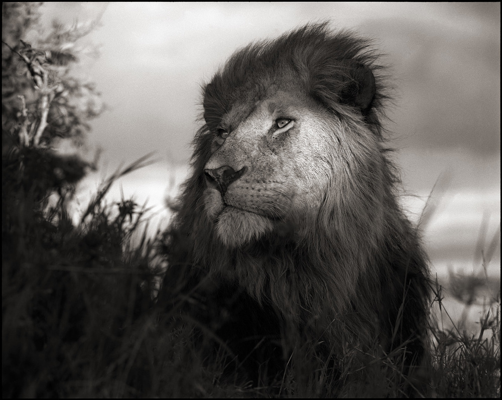 © Nick Brandt, Lion In The Shaft of Light, Maasai Mara, 2012. Courtesy of the Artist and Hasted Kraeutler, NYC.