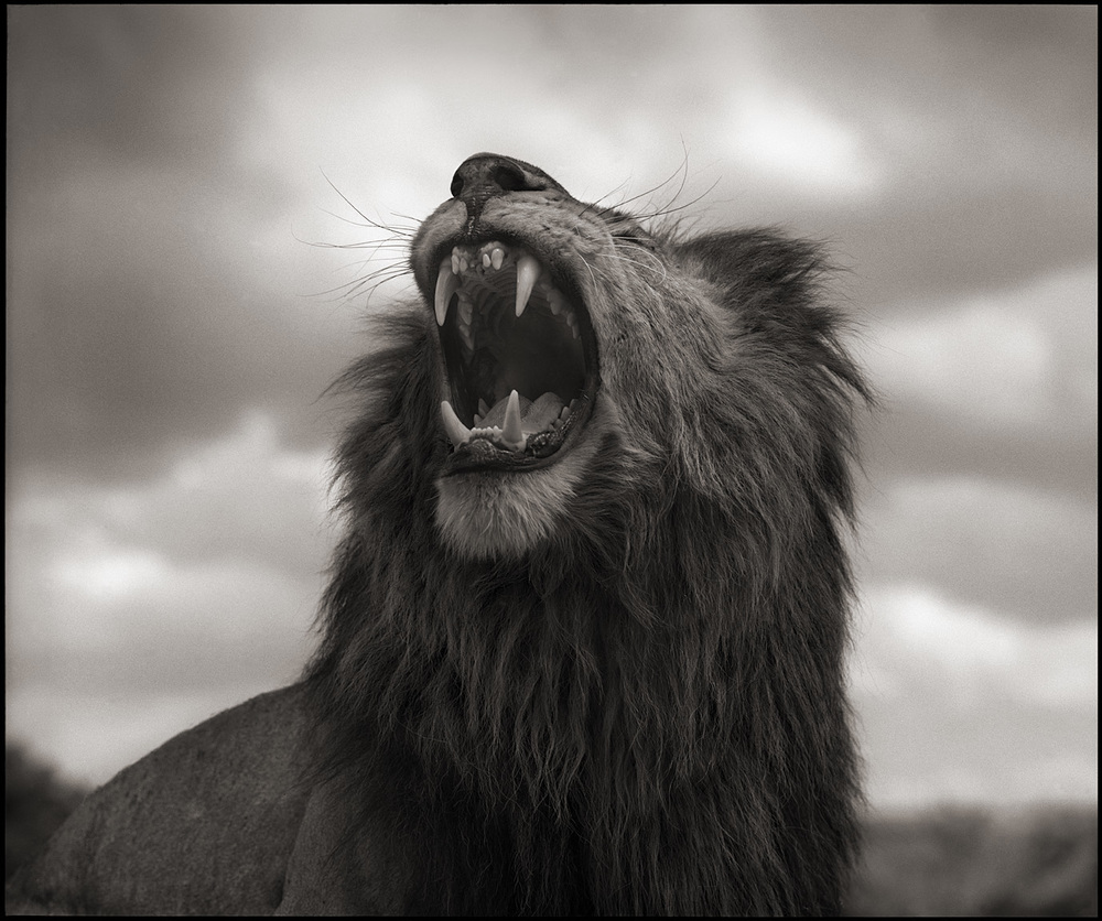 © Nick Brandt, Lion Roar, Maasai Mara, 2012. Courtesy of the Artist and Hasted Kraeutler, NYC.