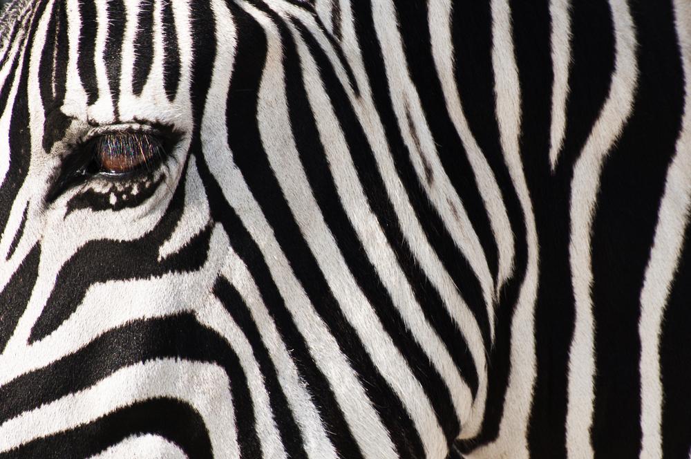 Namibia_Zebra.jpg