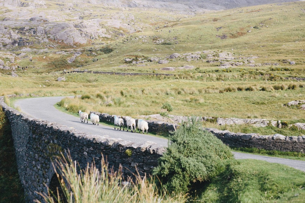 sheep everywhere! Beautiful! Kerry Ireland