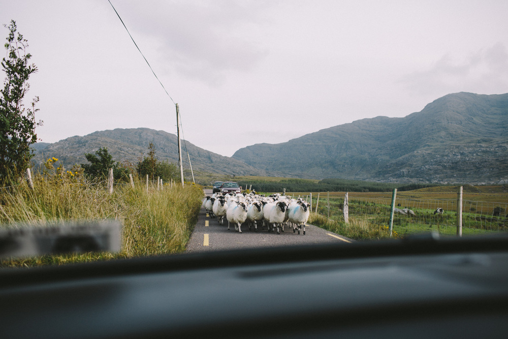 Sheep blocking the road in Kerry, Ireland! It was like in a movie - so much fun!