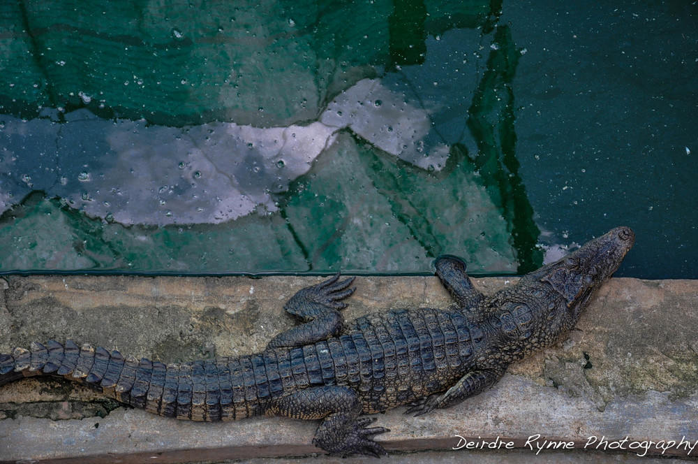 Alligator (soon to be a boot), Cambodia. August 2012
