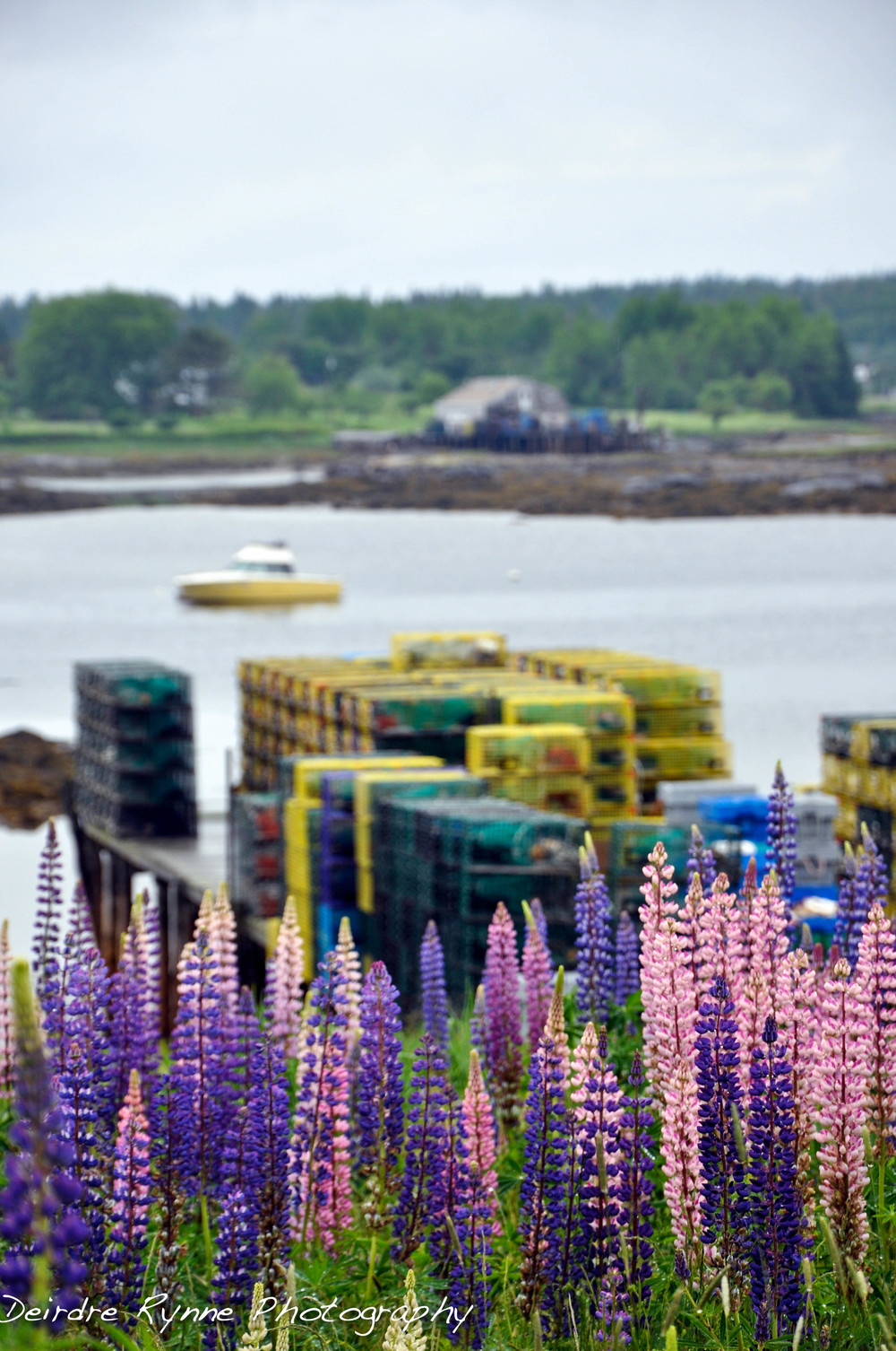 Lupins & Lobsterpots
