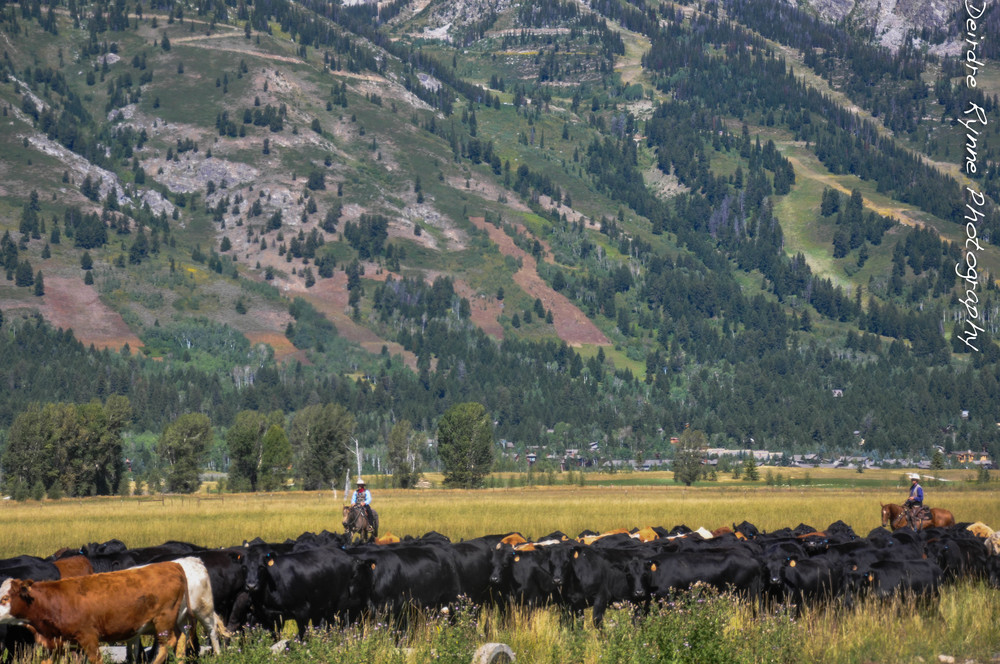 Teton Cattle