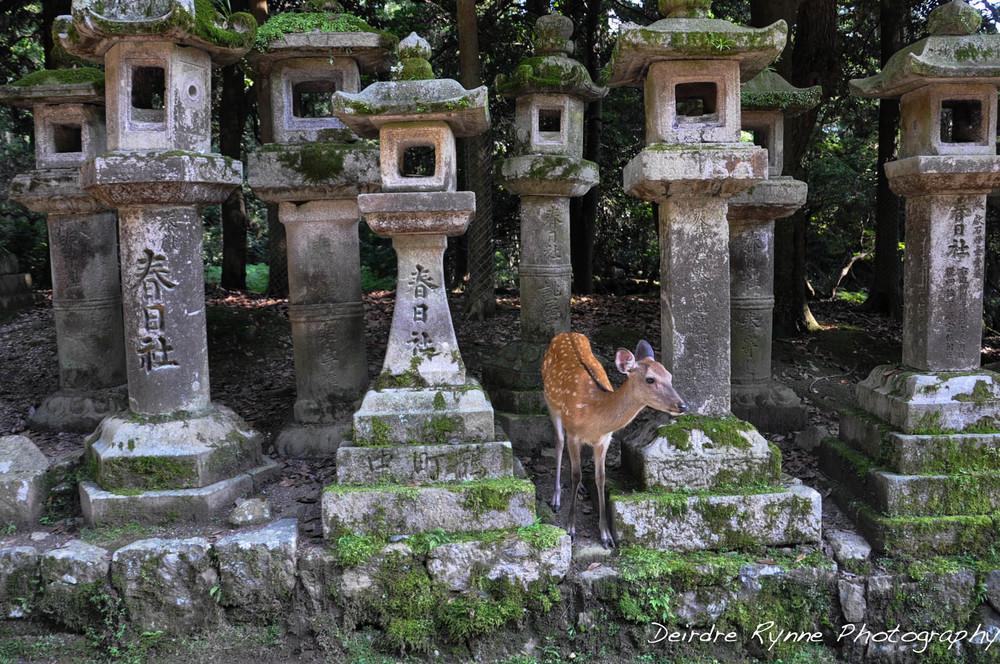 Nara Deer, Japan. July 2012.