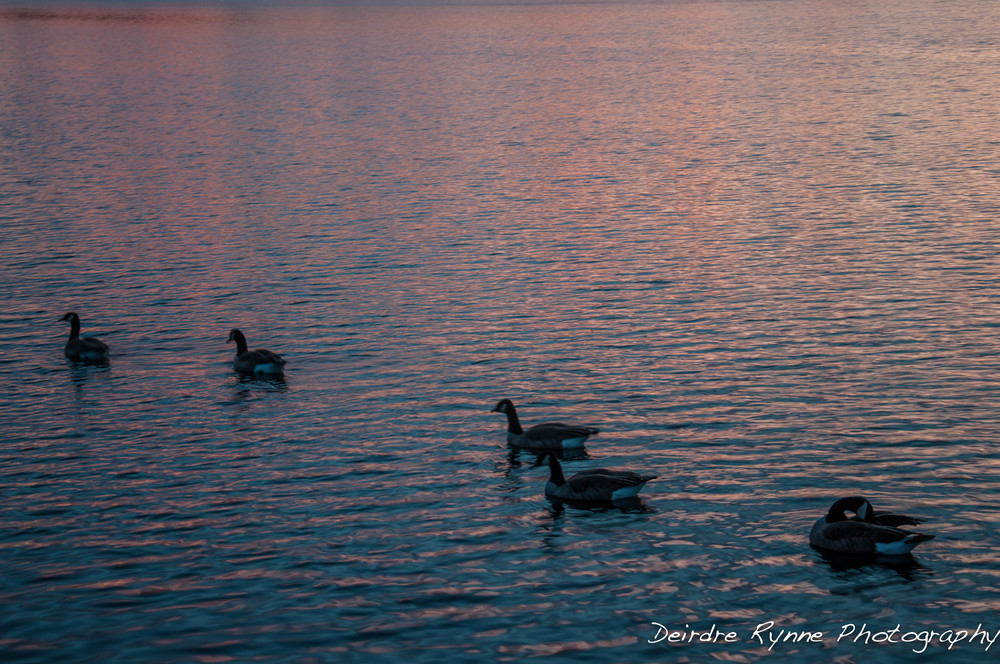 BC SUNSET 11.6  ducks blue pink.jpg