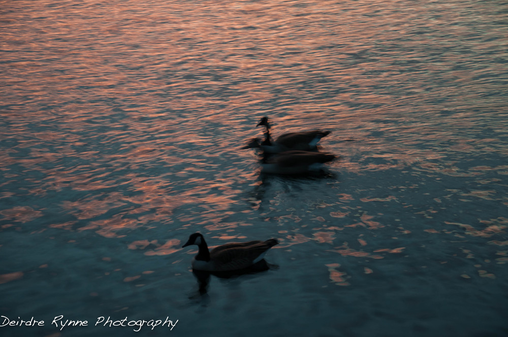 BC SUNSET 11.6  moving ducks  W.jpg