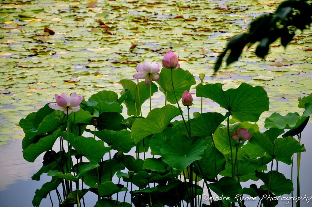 Japan Lotus.jpg