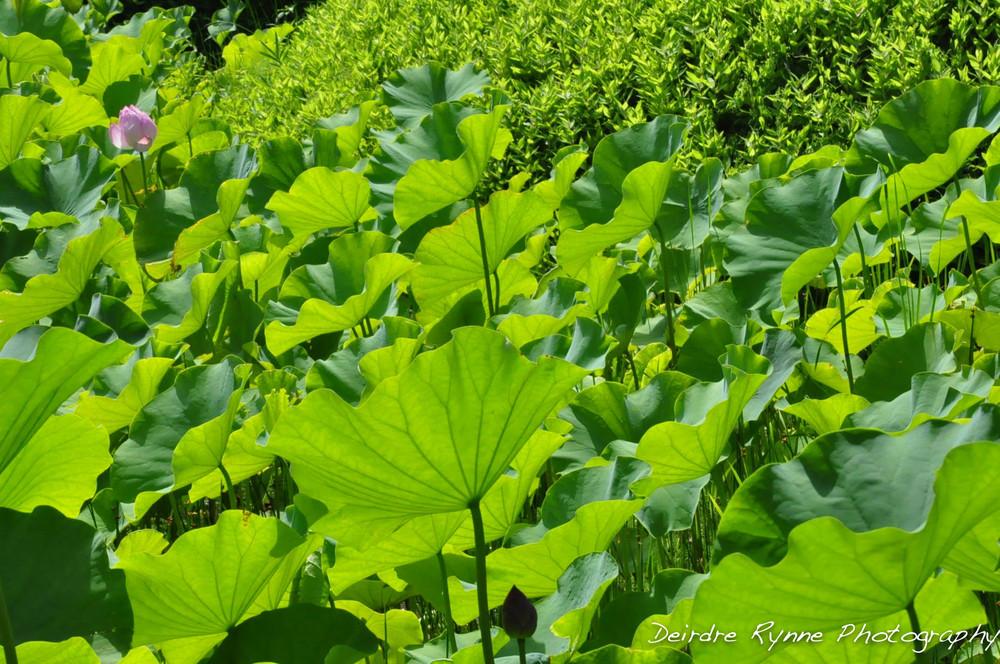 Japan Water Lilies.jpg