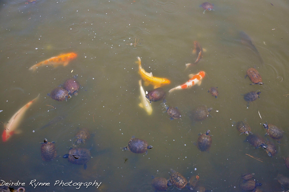 turtles & koi nara.jpg