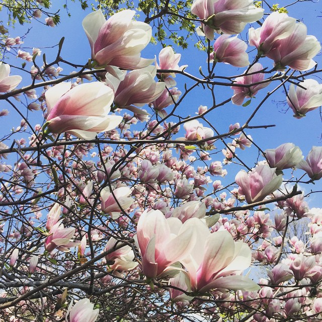 Yes! #Spring is officially here! #love out magnolia tree wish it could bloom all summer 🌸🌞🌸🌞🌸