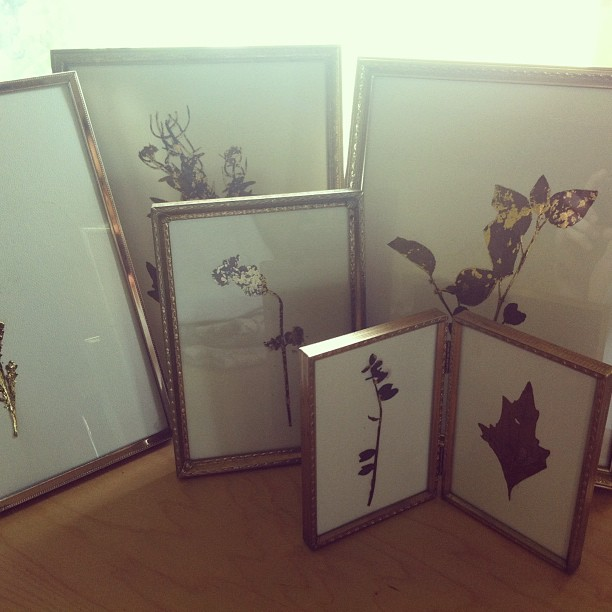 Pressed #wildflowers in #gold frames