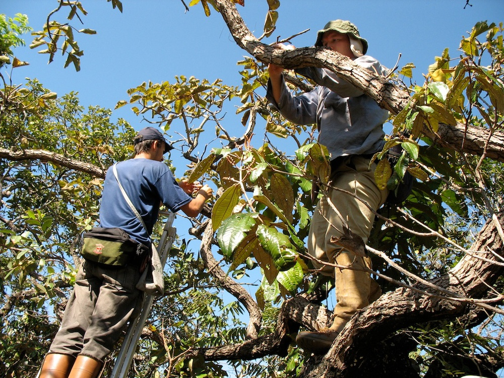 Deploying artificial cavities in the cerrado canopy.