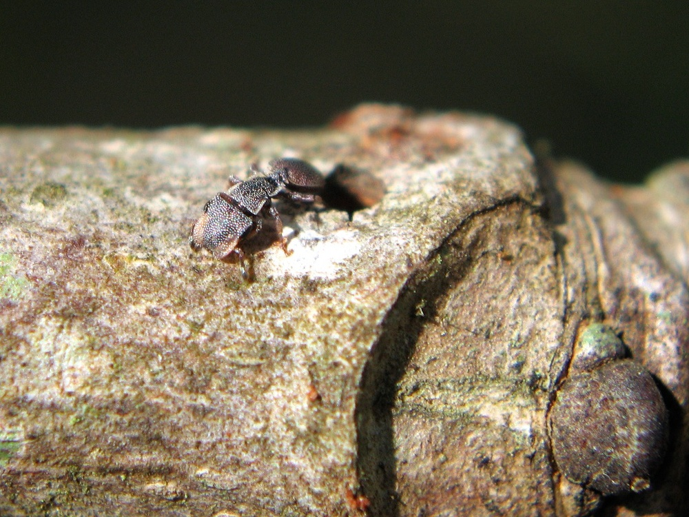 A  Cephalotes maculatus  worker leaving a nest entrance.