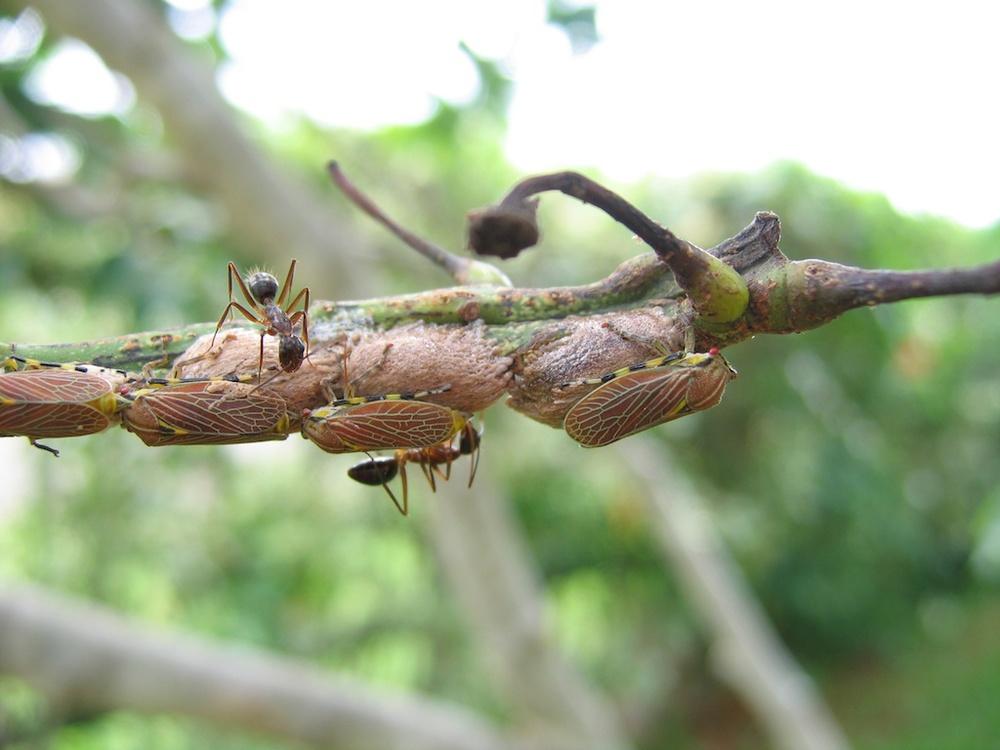 Camponotus workers tending homopterans.