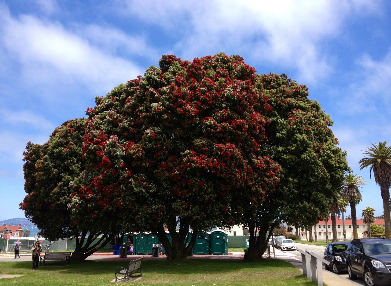 Amazing New Zealand Christmas Tree S San Francisco Trees