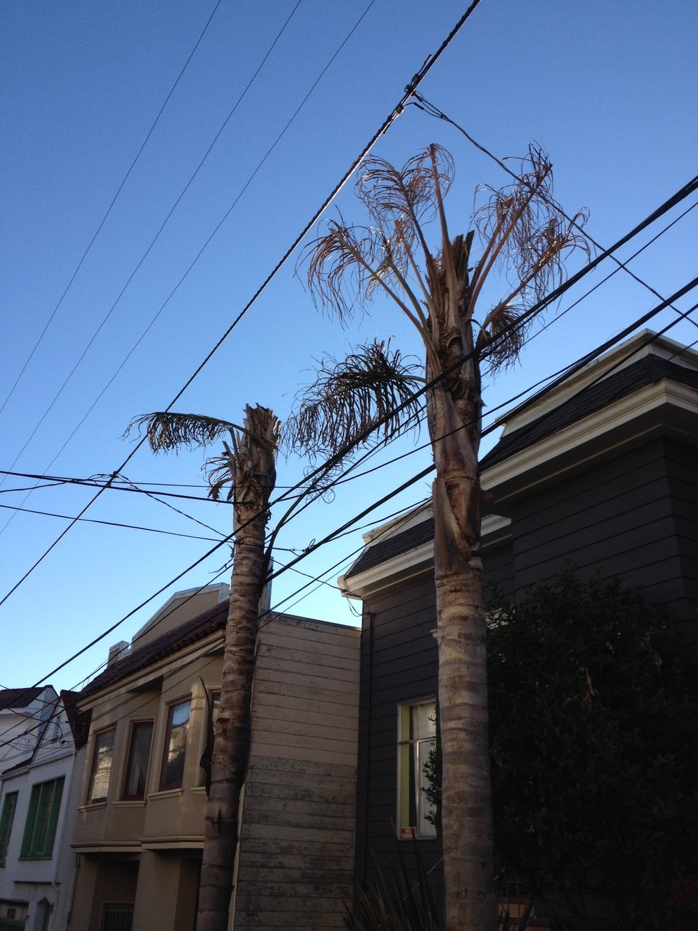 Queen palms on Pond Street