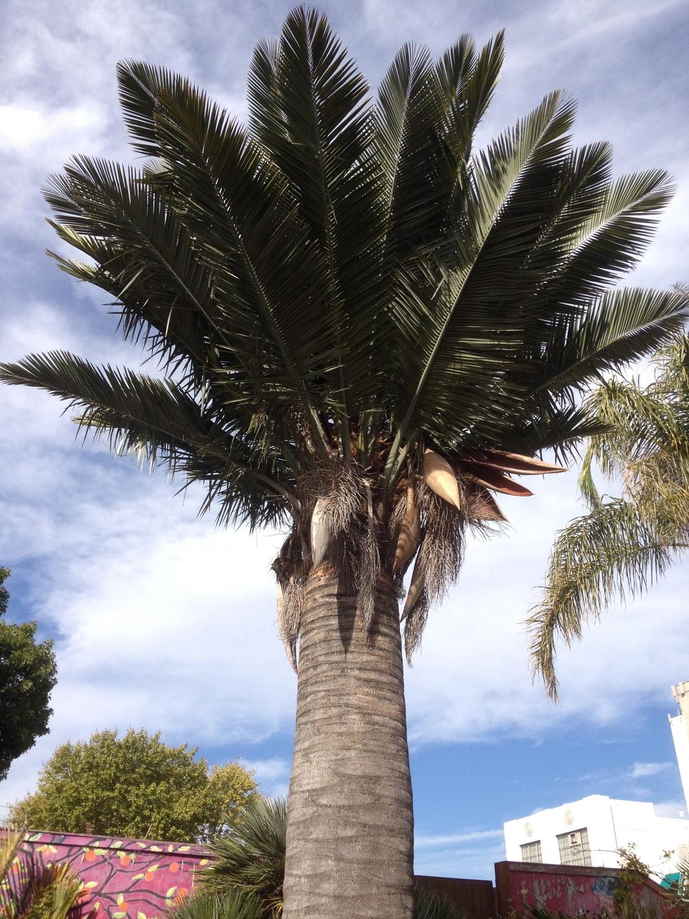 Chilean wine palm ( Jubaea chilensis)  on Florida Street