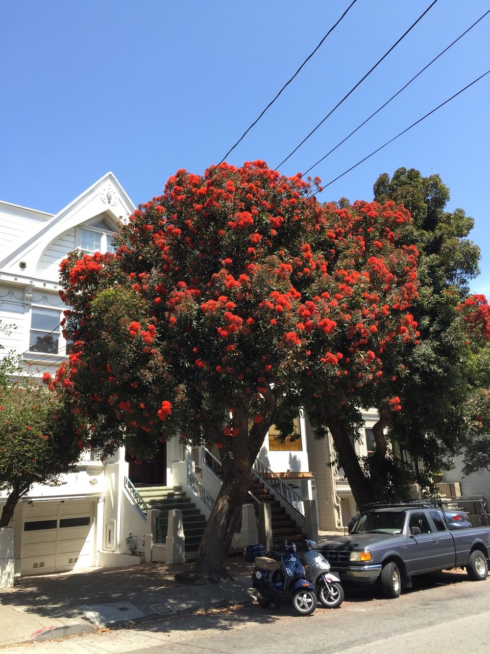 Red Flowering Gums At Peak San Francisco Trees