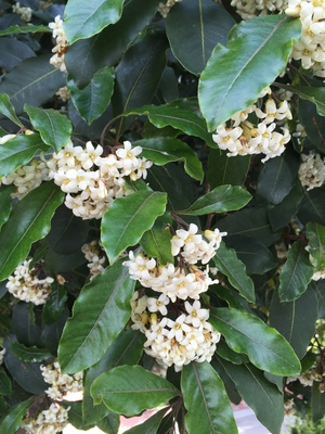 Victorian box blooms out en masse san francisco trees the victorian box pittosporum undulatum is one of san franciscos most common trees and small white flowers of the tree are out all over the city as mightylinksfo Image collections