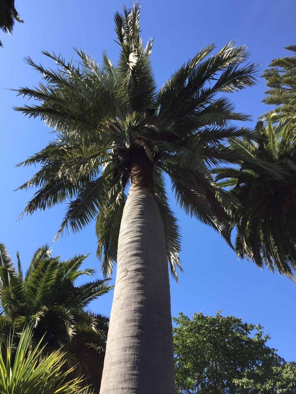 Chilean wine palm (Jubaea chilensis)