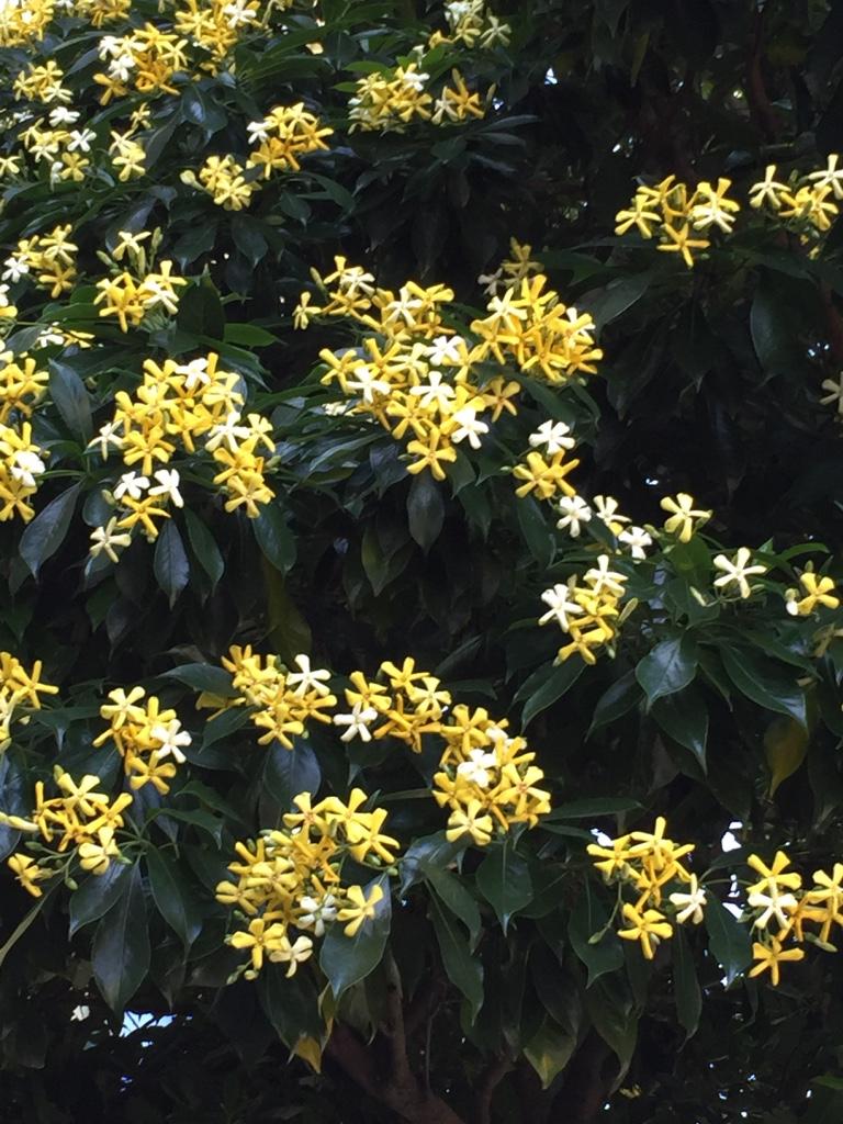Sweet shade (hymenosporum flavum)