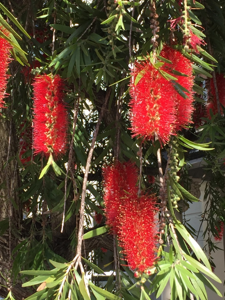Weeping bottlebrush (callistemon viminalis)