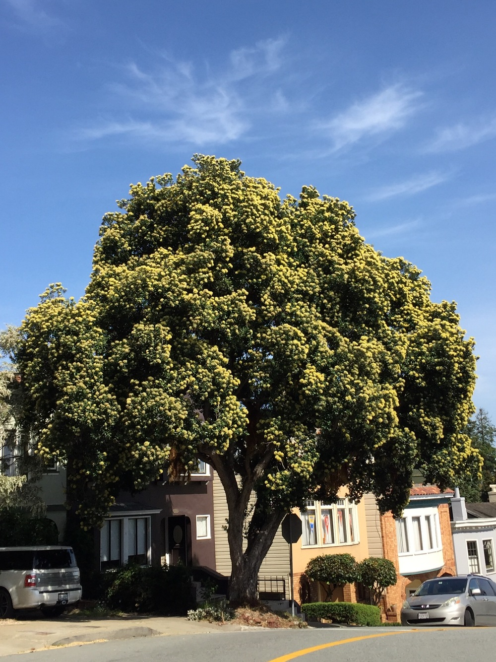Yellow New Zealand Christmas Tree - 1221 Stanyan Street