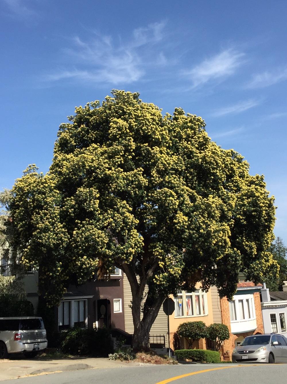 Yellow New Zealand Christmas Tree - 1221 Stanyan Street