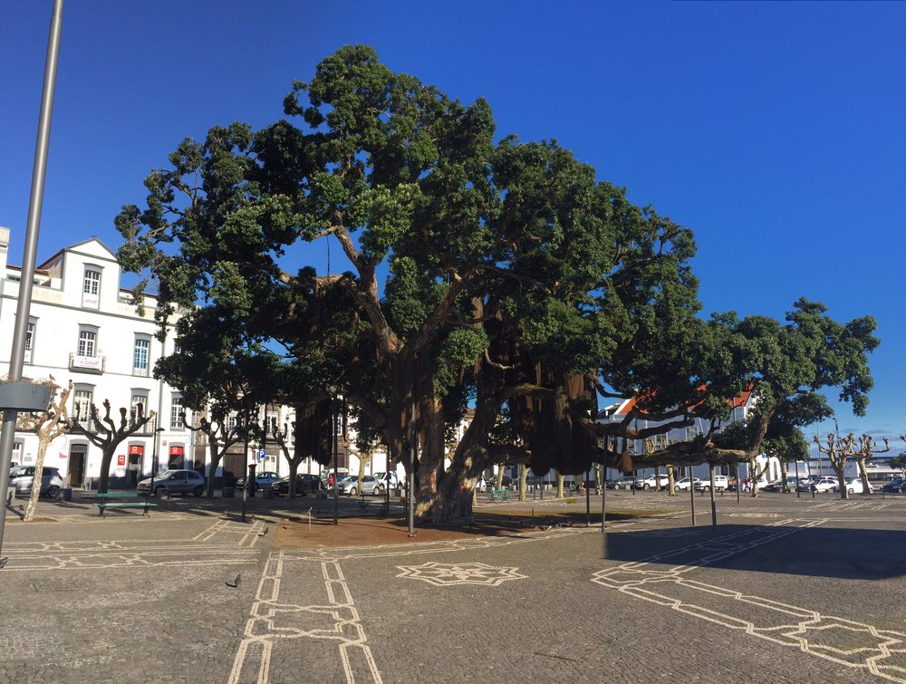 New Zealand Christmas tree - Ponta Delgada in Sao Miguel Island, Azores