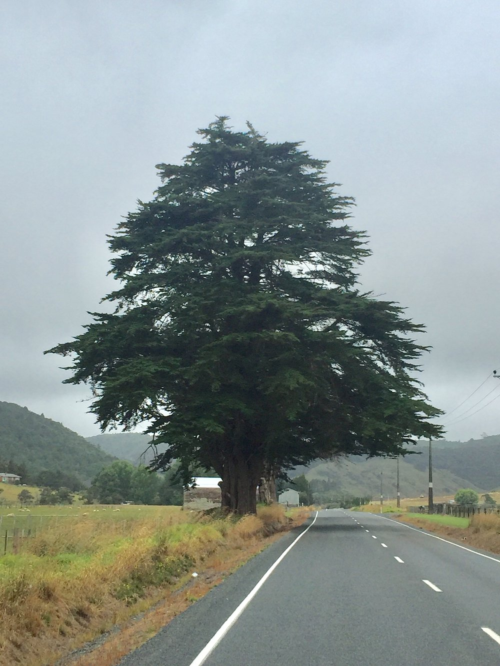 Monterey cypress north of Auckland, New Zealand