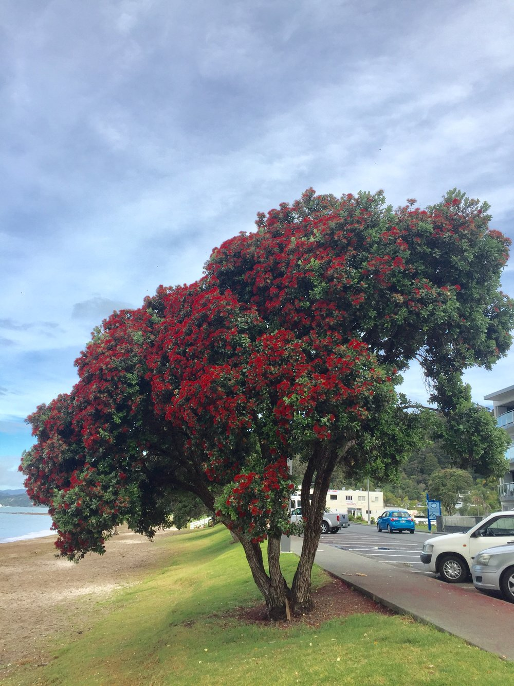 New Zealand Christmas tree in the Bay of Islands, New Zealand