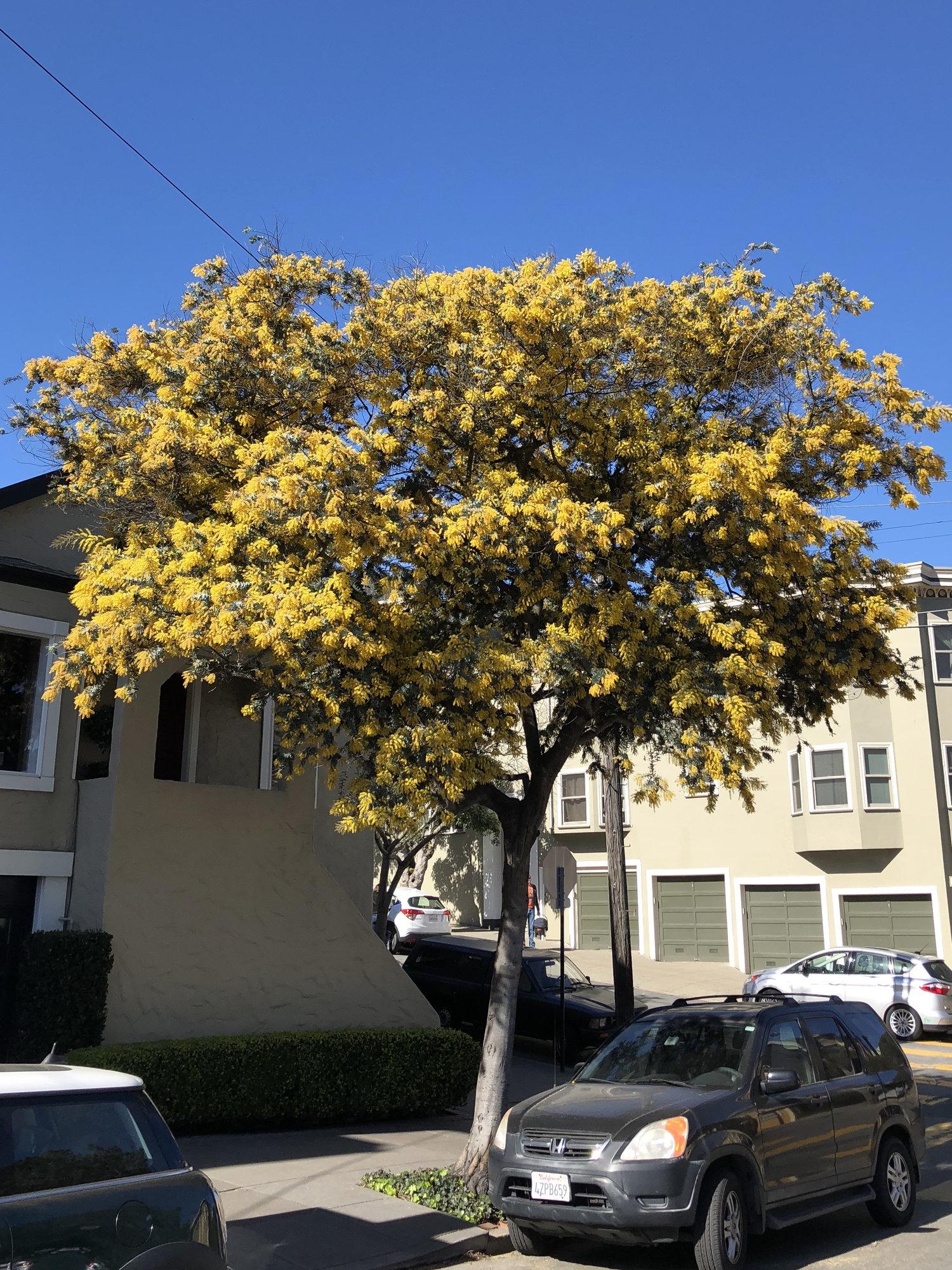 Spring Must Be Here Acacia Baileyana In Bloom San Francisco Trees