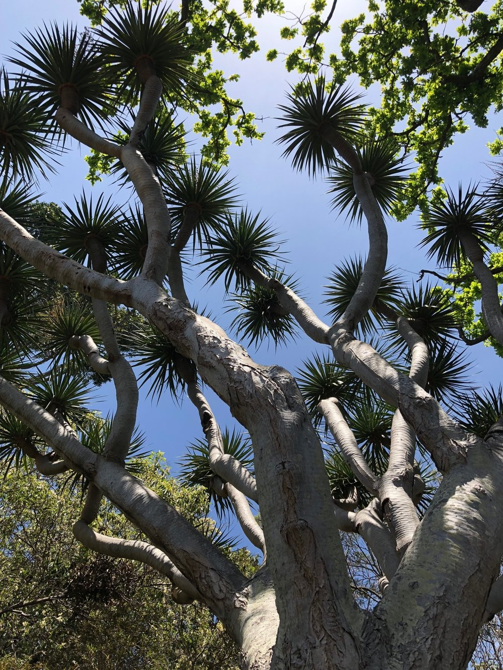 Dragon tree - Funchal botanical garden
