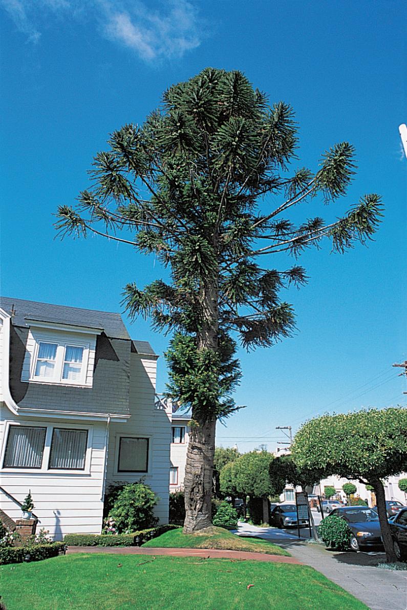 Bunya-bunya tree ( Araucaria bidwillii )