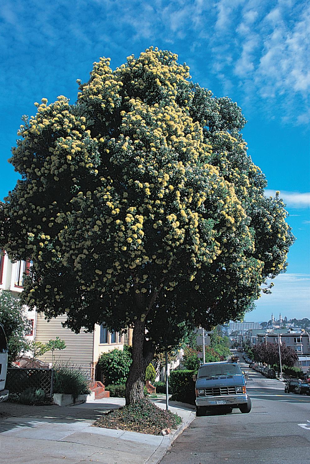 New Zealand Christmas tree ( Metrosideros excelsus )