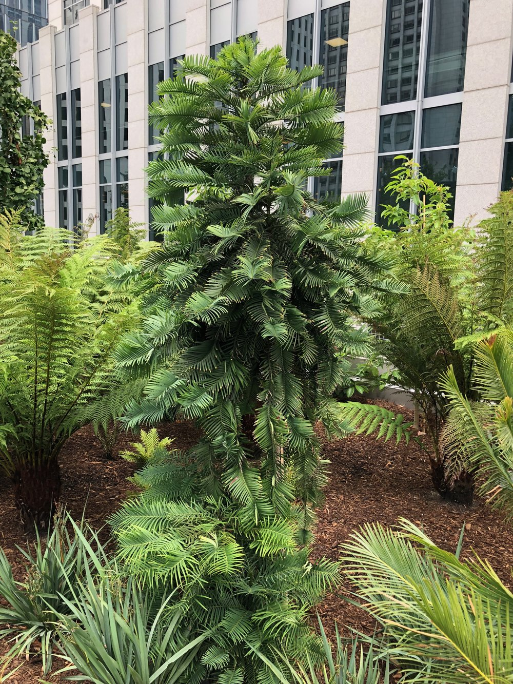 Wollemi pine ( Wollemi nobilis )