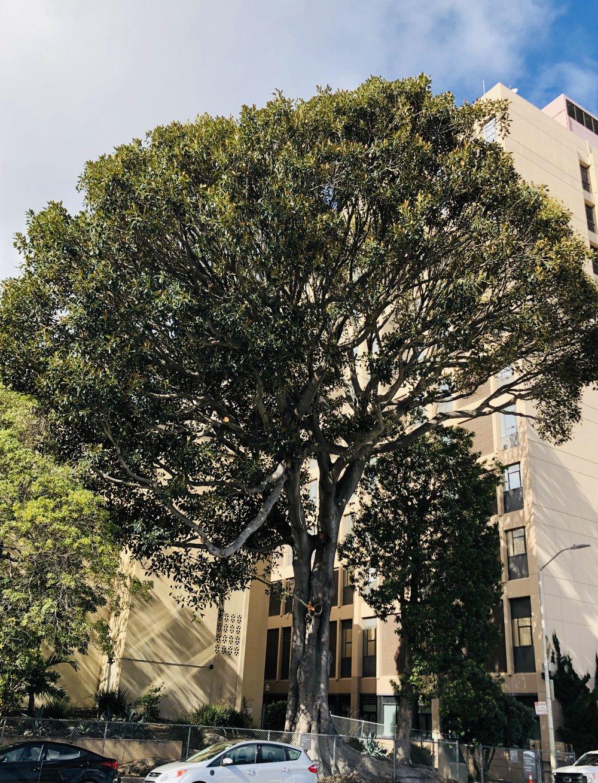 Moreton Bay fig ( Ficus macrophyla )