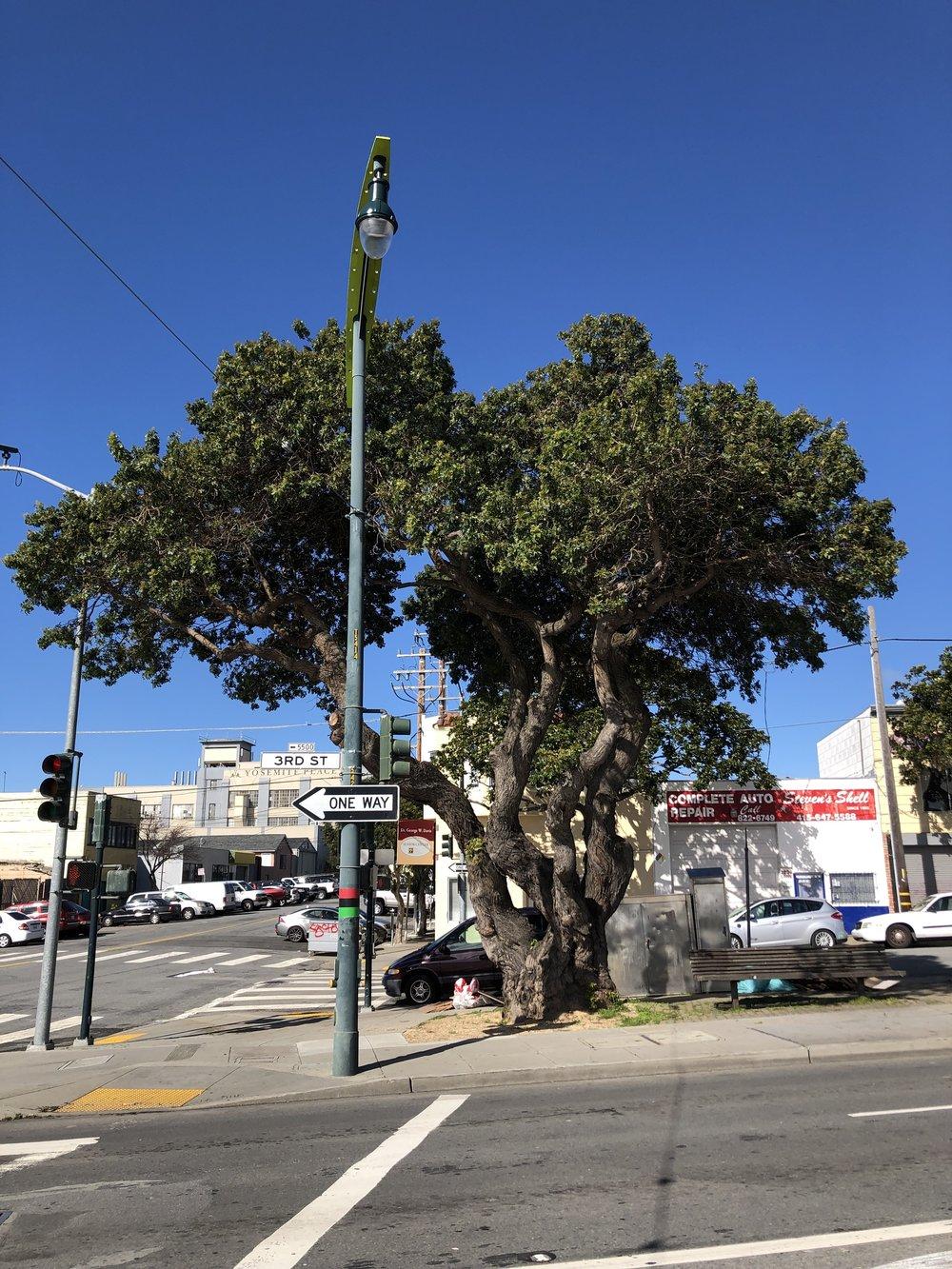 Brazilian Pepper Tree ( Schinus terebinthifolius )