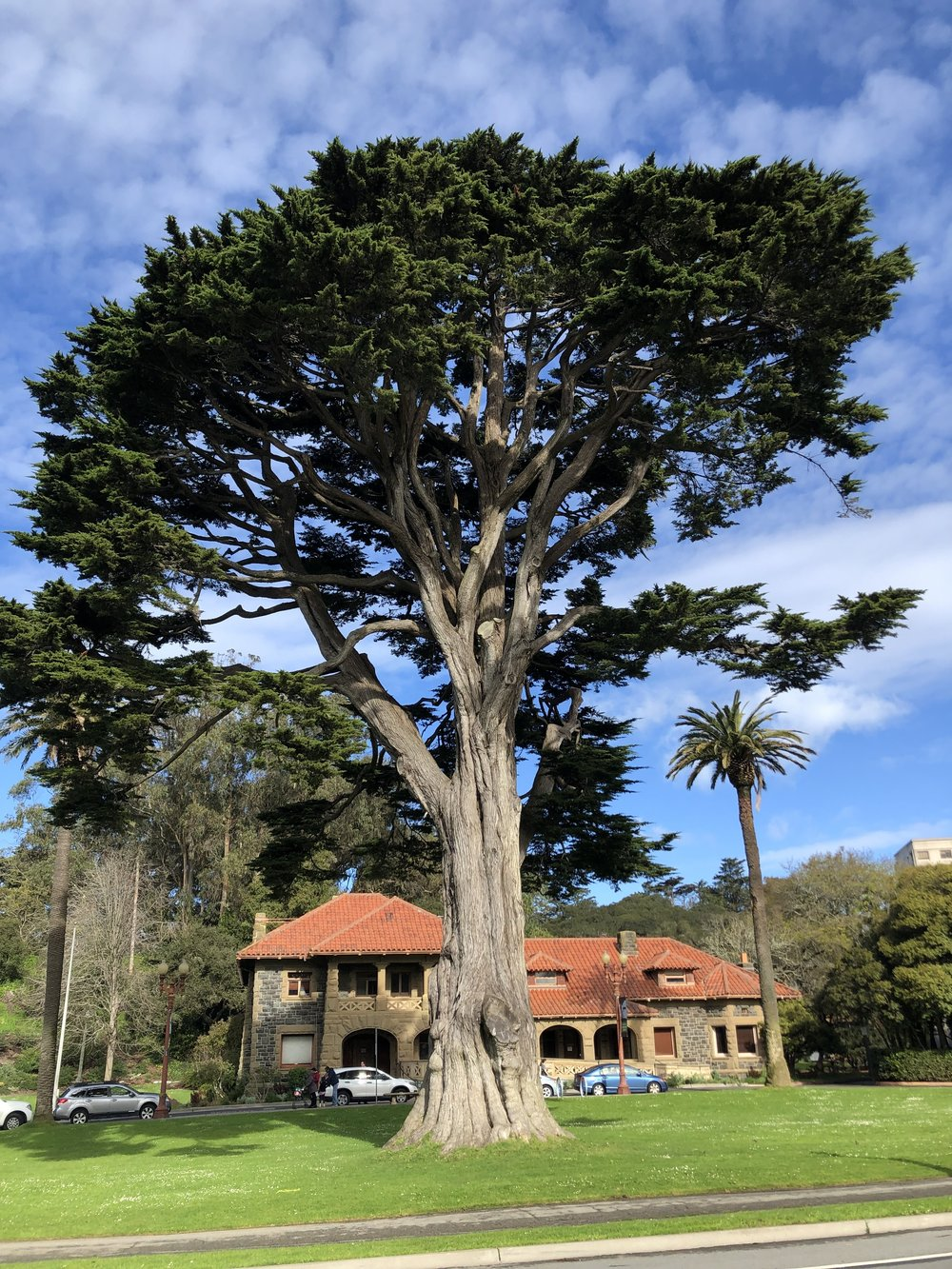 Monterey cypress tree ( Hesperocyparis macrocarpa )