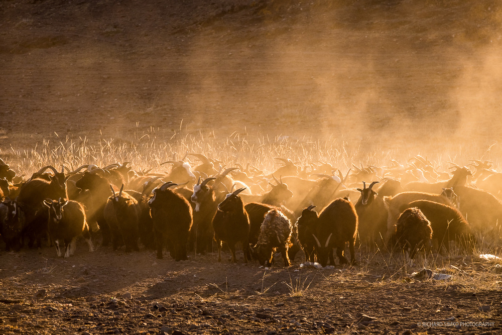 Goats in dust lit by early sunlight