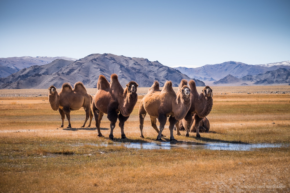 Camels at water puddle