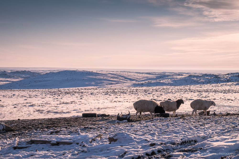 Typical Mongolian scene. Sheep in the endless Mongolian steppe.