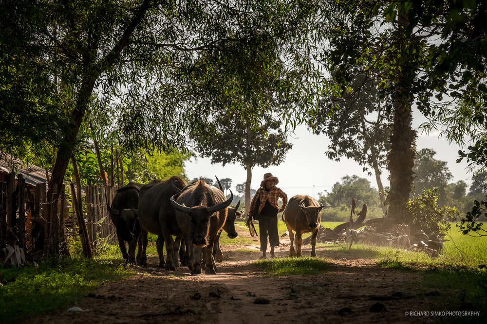 Woman herding water buffaloes from fields in Cambodian countryside. Somewhere near Siem Reap.  Fujifilm X-T1, Fujinon 50-140mm   2.8