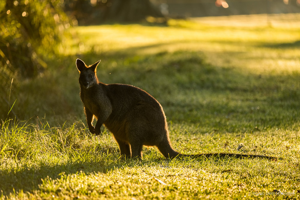 Wallaby staring down the photographer