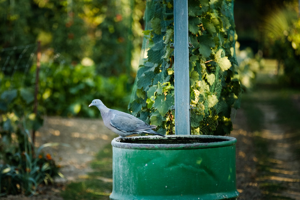This turtle dove landed on the barrel which is usually filled with water all the way to the edge. We do it so the birds can come and drink water. This time the barrel was empty as we just finished watering the garden.