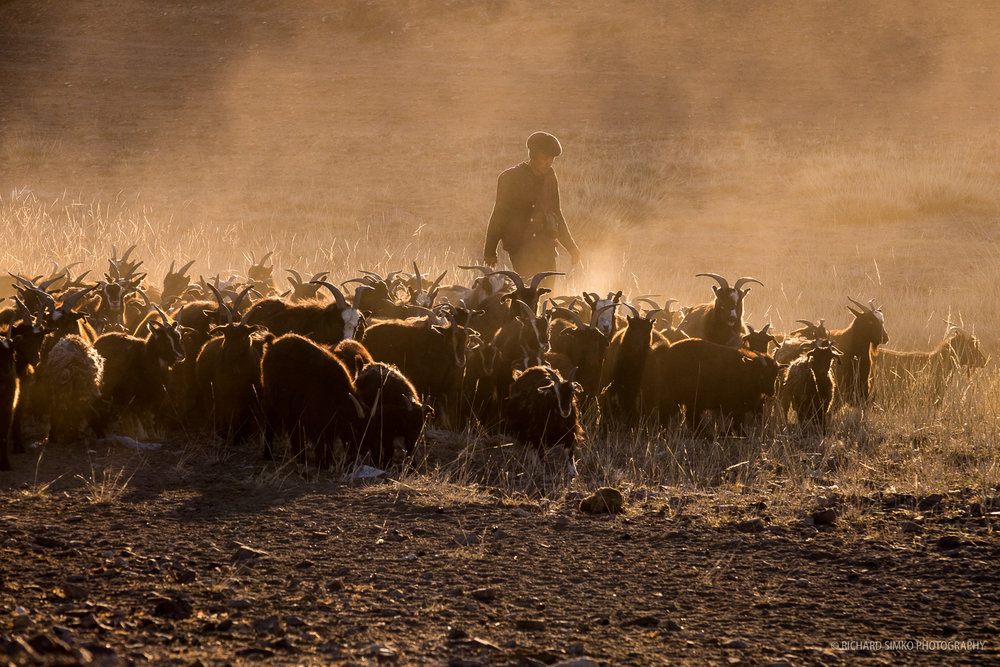Goats in the golden dust, Fujifilm X-T1, XF 50-140mm f/2.8 LM OIS WR